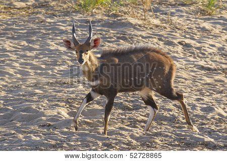 Mal Bushbuck (tragelaphus Scriptus), South Africa