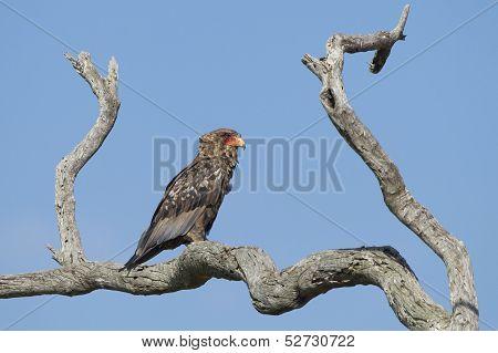 Juvenile Bateleur Eagle (terathopius Ecaudatus) South Africa