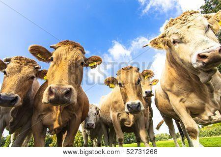 Curious cows 2