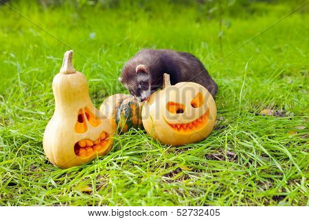 Ferret and pumpkins