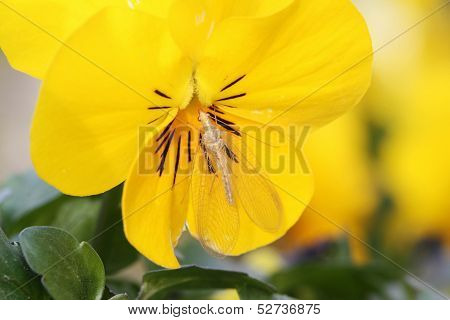 Pansy flower and insect