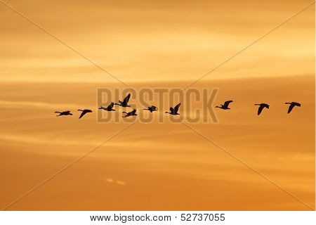 Canada Geese Migrating At Sunset