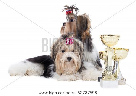 Two Dogs Of Breed Yorkshire Terrier With Cups
