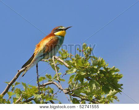 European bee-eater alighted
