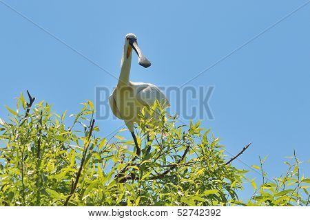 Eurasian Spoonbill (Platalea leucorodia)
