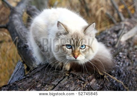 Siberian Cat In A Autumn Forest