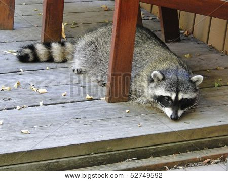 Masked Bandit - Raccoon