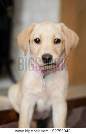 A Cute Expression On Golden Labrador Puppy