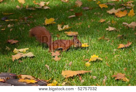 Red Squirre Jumping In An Autumn Grass