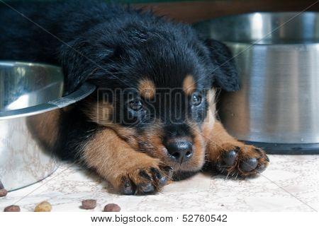 Rottweiler Puppy 8