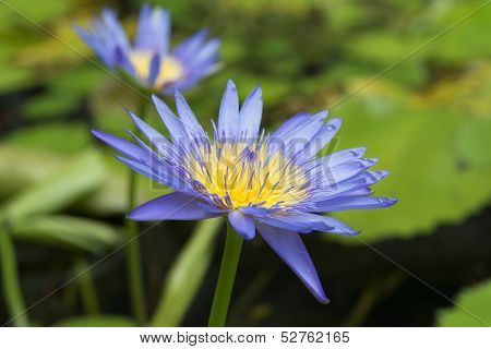 Blue Lotus Petals And Purple Pollen And Green Leave