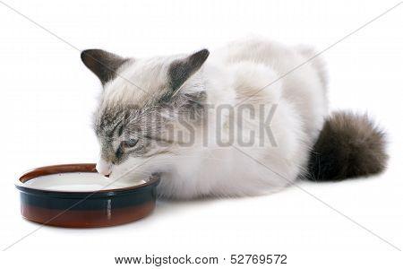 Drinking Kitten