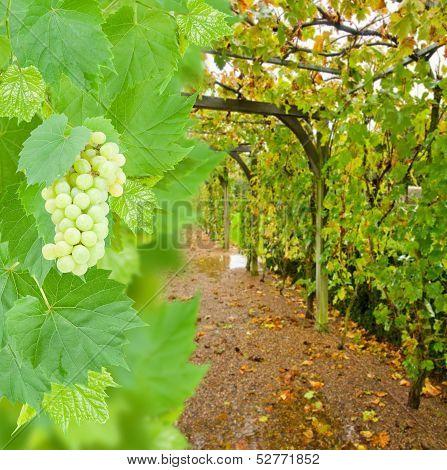 wine yard allwy with grape