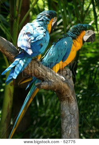 Two Golden Macaws