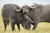 stock photo of cape buffalo  - Two male Cape Buffaloes  - JPG