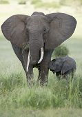 picture of tusks  - Female African Elephant with long tusk  - JPG