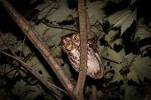image of screech-owl  - Eastern Screech Owl perched in a tree at night - JPG