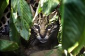 stock photo of ocelot  - Ocelot (Leopardus pardalis) peering out from behind leaves