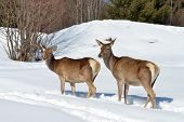 image of cleaving  - Deer in winter in a sunny day - JPG
