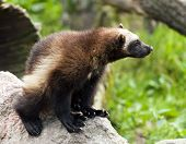 stock photo of wolverine  - The wolverine  - JPG