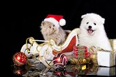 stock photo of santa sleigh  - White dog spitz  and kiten Persian  wearing a santa hat - JPG