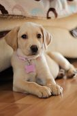 A Cute Golden Labrador Puppy