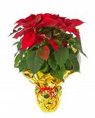 image of poinsettias  - Christmas poinsettia isolated on white background with studio lighting - JPG