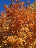 pic of boise  - Autumn frost paints the trees in beautiful shades of yellow - JPG