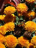 image of boise  - Sun highlights these golden chrysanthemum blossoms on an Autumn day in Boise - JPG