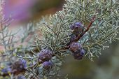 picture of juniper-tree  - Closeup of a branch of a juniper - JPG