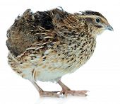 picture of quail  - Young quail isolated on white - JPG