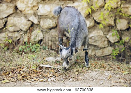 An adorable baby goat nibbling on grass near a stone wall.  Shallow DOF.