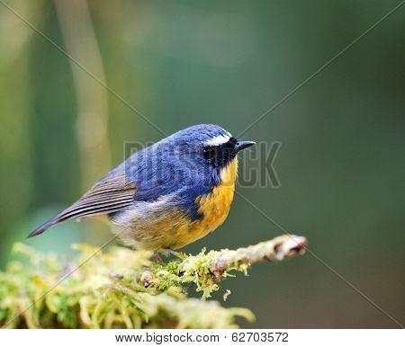 Snowy-browed Flycatcher (ficedula Hyperythra) Fat Blue Bird
