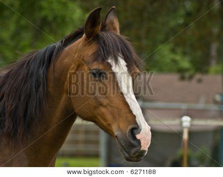 Brown Bay Quarter Horse Mare