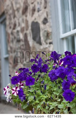 Colorful Pansies In Front Of Old Wall