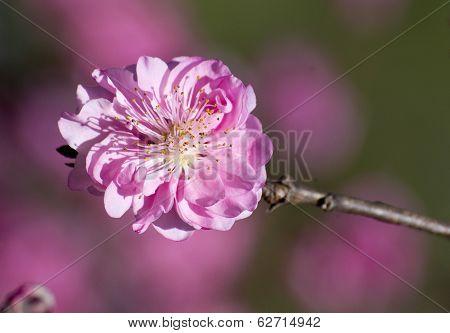 Ornamental Japanese Cherry Blossom