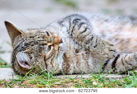 Grey striped cat