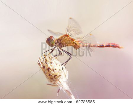 a red dragonfly isolated on a soft background