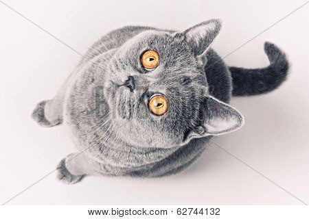 Gray Shorthair British Cat