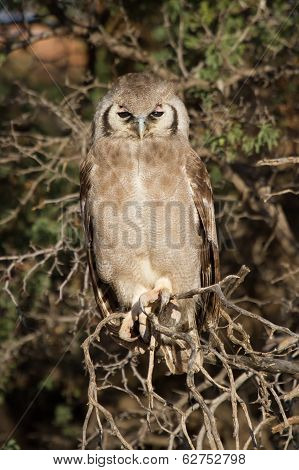 Giant Eagle Owl Sitting In A Kalahari Tree Sleeping During Day