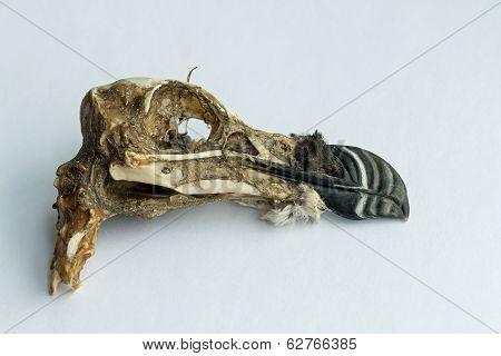 Razorbill Skull