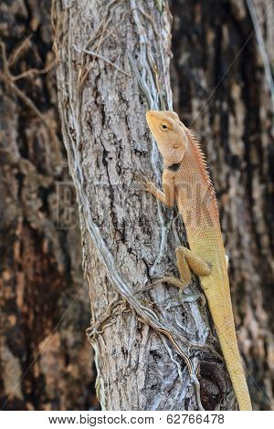 brown Lizard, asian lizard or tree lizard