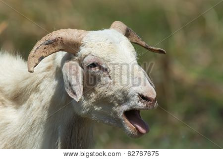 Sheep Sticking Out Its Tongue