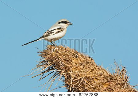Southern Grey Shrike Perched On The Top Of A Thatched Hut