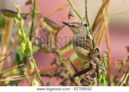 Zitting Cisticola Perched In A Garden