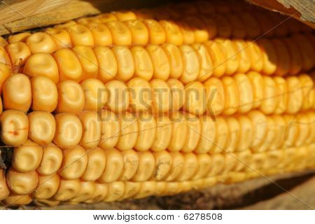 yellow ear of corn close-up