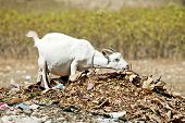 A pregnant white goat stretching her neck to eat dried leaves off a pile of rubbish.