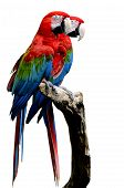 Sweet Pair Of Red-and-green Macaw Parrot Bird, Green-winged Macaw Bird Sitting On The Log Together I