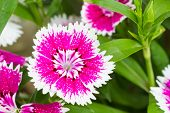 Indian pink or China pink flower