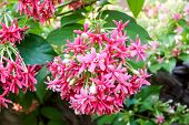picture of creeper  - Pink flower Quisqualis indica also known as the Chinese honeysuckle Rangoon Creeper Combretum indicum and Drunen sailor - JPG